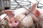 Минсельхозприроды ПМР контролирует ситуацию со вспышкой африканской чумы свиней на Украине