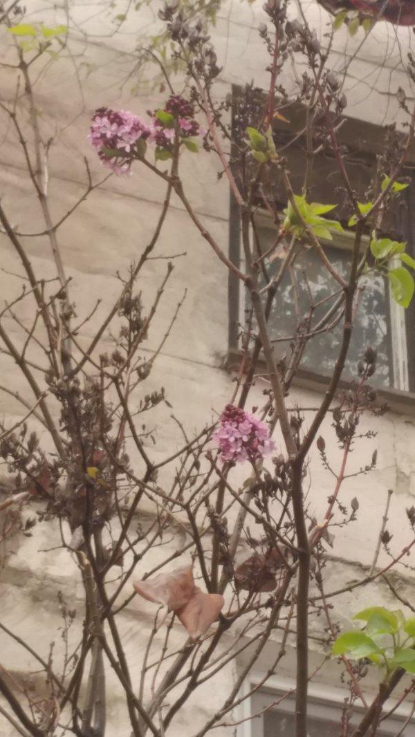 В Бендерах в декабре цветет сирень