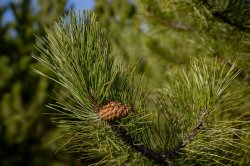 В Бендерах высадят 30 саженцев крымской сосны