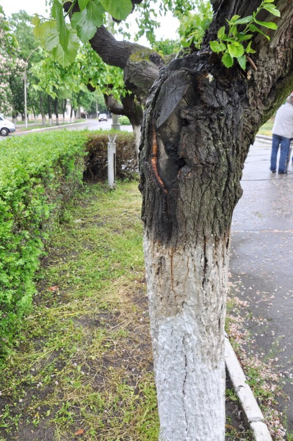 Плакучие шелковицы в центре Бендер признаны  аварийными